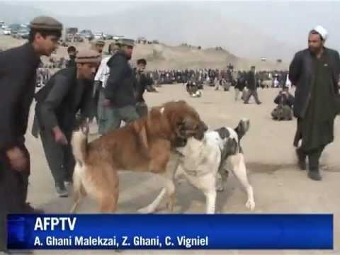 Dogs' fight in Afghanistan - YouTube