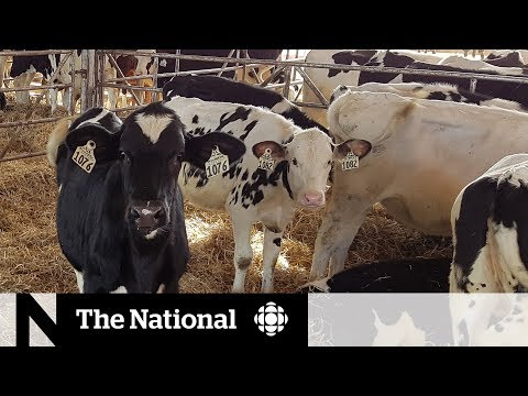 How Feeding Cows Seaweed Could Cut Methane Emissions | The Fix