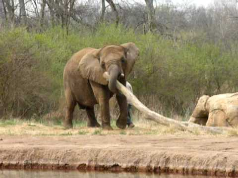 Elephant Carrying Logs In Nashville Zoo Youtube