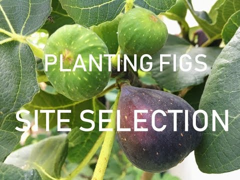 Fig Tree SITE SELECTION For COLD Climates: Zones 6/7/8.