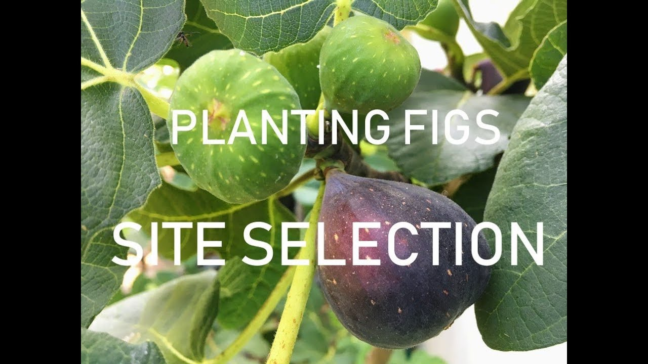 Fig Tree Site Selection For Cold Climates Zones 6 7 8 Youtube