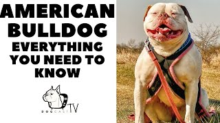 AMERICAN BULLDOG  Everything You Need to Know!  DogCastTV!