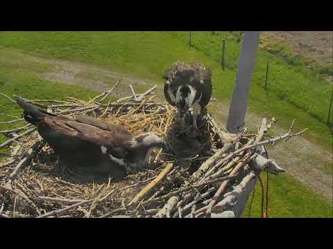 Osprey Nest - Charlo Montana Cam 06-07-2017 10:13:17 - 11:13:17