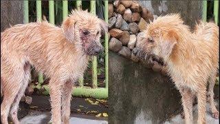Thương cảm câu chuyện chú chó bị bệnh nặng chọn cái c.h.ế.t xa nhà và gặp được chàng thanh niên tốt