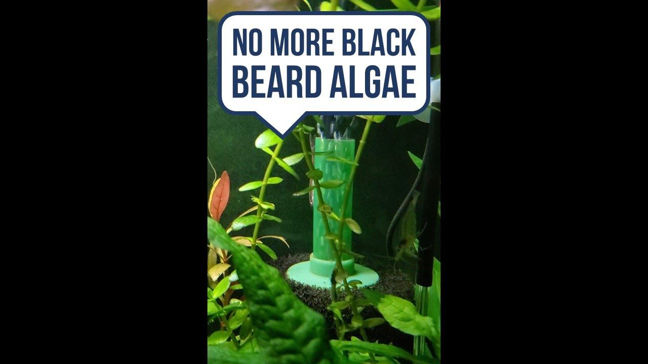 Get Rid of Black Beard Algae on Sponge Filters