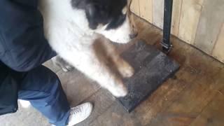 Вес моего азиатского щенка Сакара в 4 месяца и 26 дней.