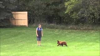 Rosie (goldendoodle) Boot Camp Dog Training Video