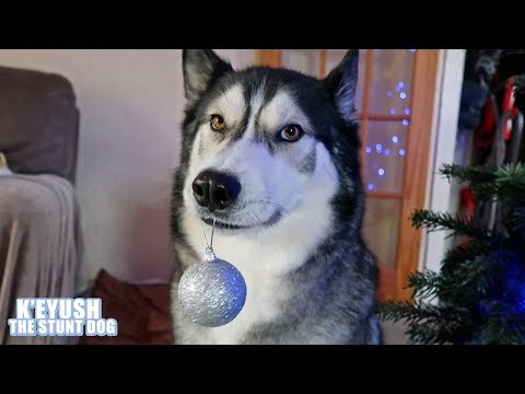Husky Helps Decorate The Christmas Tree