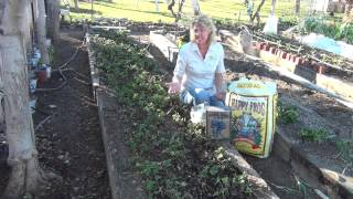 How to Rejuvenate a Strawberry Bed