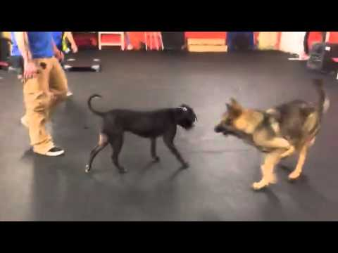 Dog Training | Dog #aggressive rehab with and without dogs present ❤️😀 energy change explained