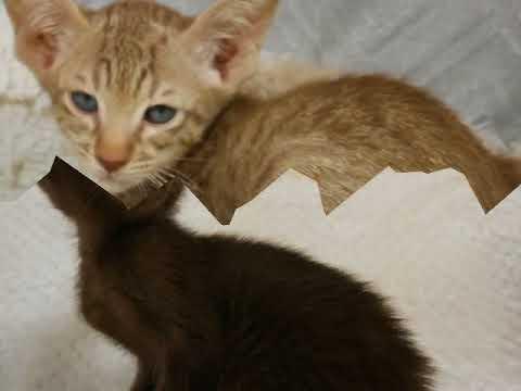 Available Oriental Shorthair kittens FEB 2018