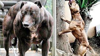 Dünyanın En Güçlü 10 Köpek Irkı