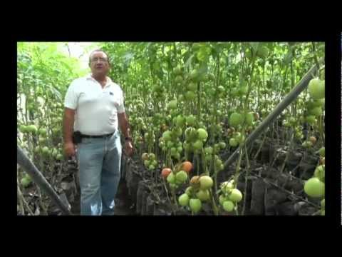 Cultivo De Tomate Orgánico En Invernadero