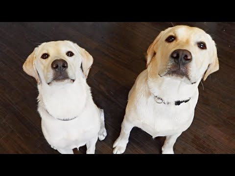 BROTHER AND SISTER LABRADOR PUPPIES GO SWIMMING!!
