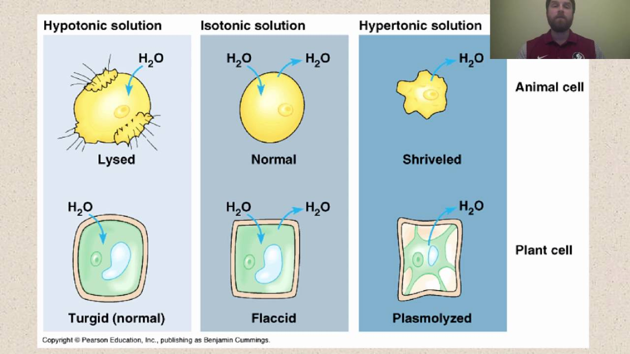 osmosis cell wall and sodium chloride Observing osmosis, plasmoylsis and turgor in plant cells investigation  get a single layer of plant cells if you are using red onion, cut a 1 cm square from a fleshy piece of onion and then peel off a single layer of the red cells.