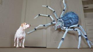 Dogs vs Giant Spider Prank: Funny Dogs Maymo, Penny, & Potpie