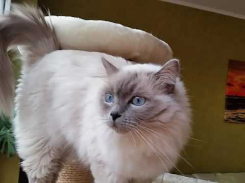 Ragdoll blue colourpoint - Ginger 2,5 Jahre alt. ..