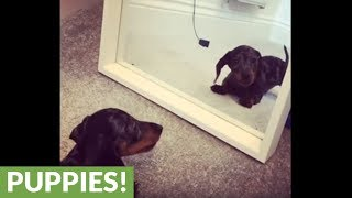 Miniature Dachshund challenges his reflection in mirror