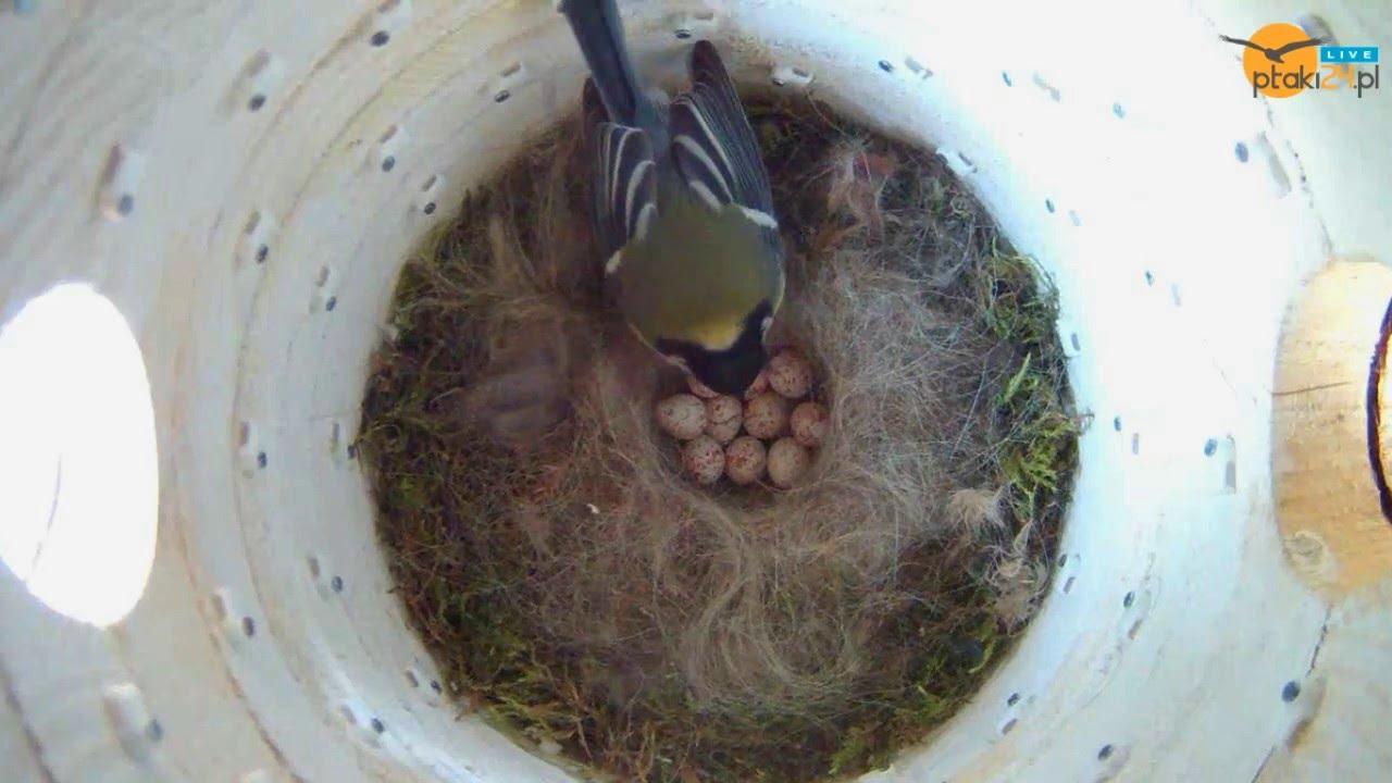 Sikorka bogatka wysiaduje jajka w budce #02 w ogrodzie