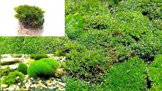 Мох как он оживает и посадка его в аквариум/Moss as it comes to life and landing it in an aquarium