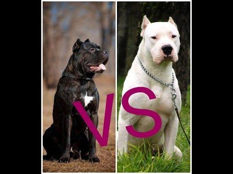 Собачий Бой Кане-корсо против Аргентинский дог какая собака круче???
