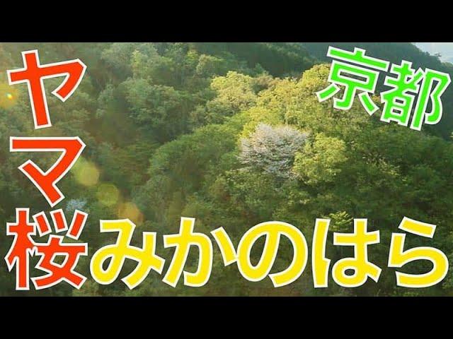 【みかのはら/京都/ 177】「誰の目にもとまらない山桜」空撮・たごてるよし_Aerial_TAGO channel
