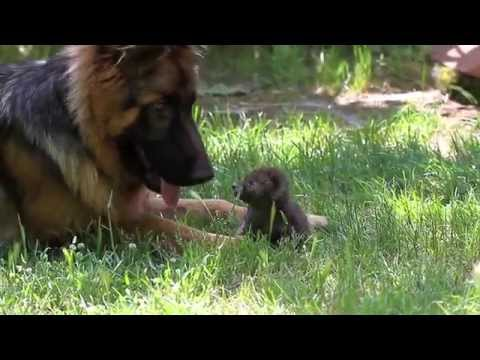 La piccola volpe ed il cane. lezione di antispecismo. youtube