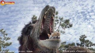 Мавр хотел съесть Снеговика? Такого мы еще не видели :) Тайган. Camel Mavr wanted to eat a snowman?