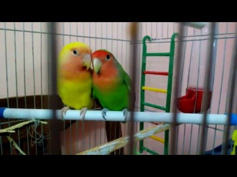 Parrots Lovebirds. Peach And Kiwi