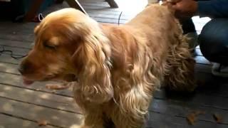 Papa trimmed kurea. good dog. !! クレアはパパにトリミングしてもら...
