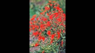ЗАУШНЕРИЯ  (ZAUSCHNERIA)  сем.Кипрейные (Onagraceae)