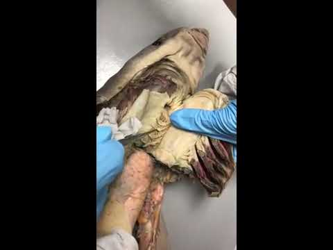 Shark Respiratory System