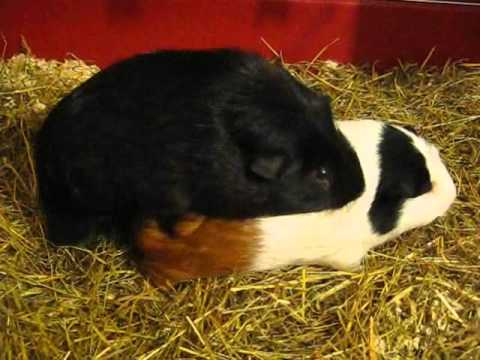 2010-10-05 Mating Guinea Pigs (Part 3) Abigail and Coco from YouTube · Duration:  2 minutes 34 seconds
