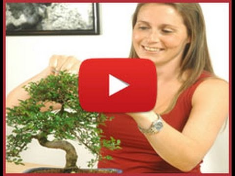 Premium Indoor Bonsai Trees from Bonsai Direct