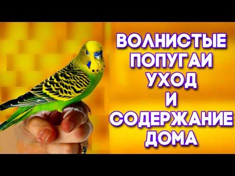 Уход за волнистым попугаем в домашних условиях