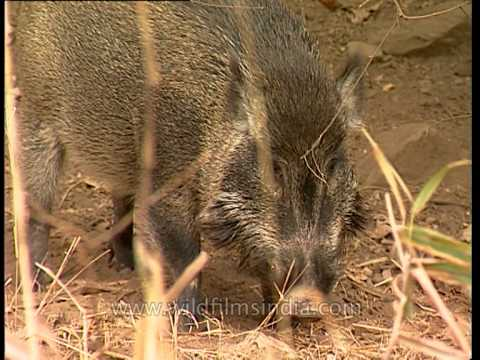 Wild boars at Sariska National Park, Rajasthan