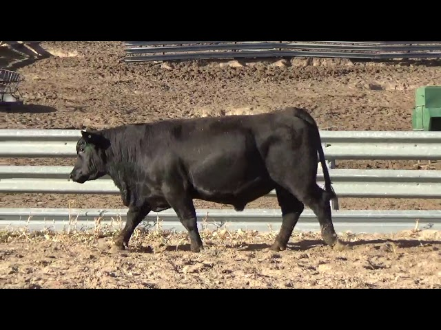 Connealy Angus Lot 228