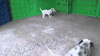 Dalmation Puppies For Sale In Pa.