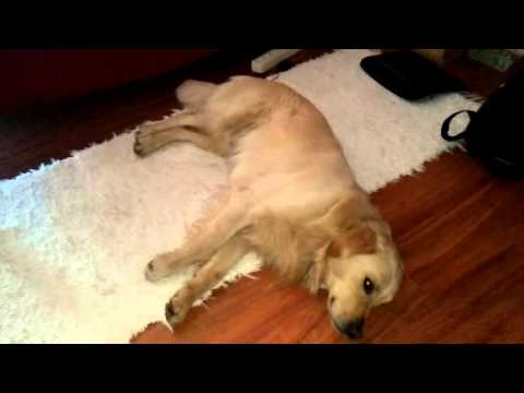 Golden retriever wags his tail while lying