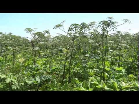 Борщевик - растение ядовитое