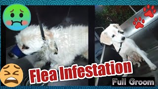 Flea infested maltese mix, 2/2 of the 2x1 dog grooming