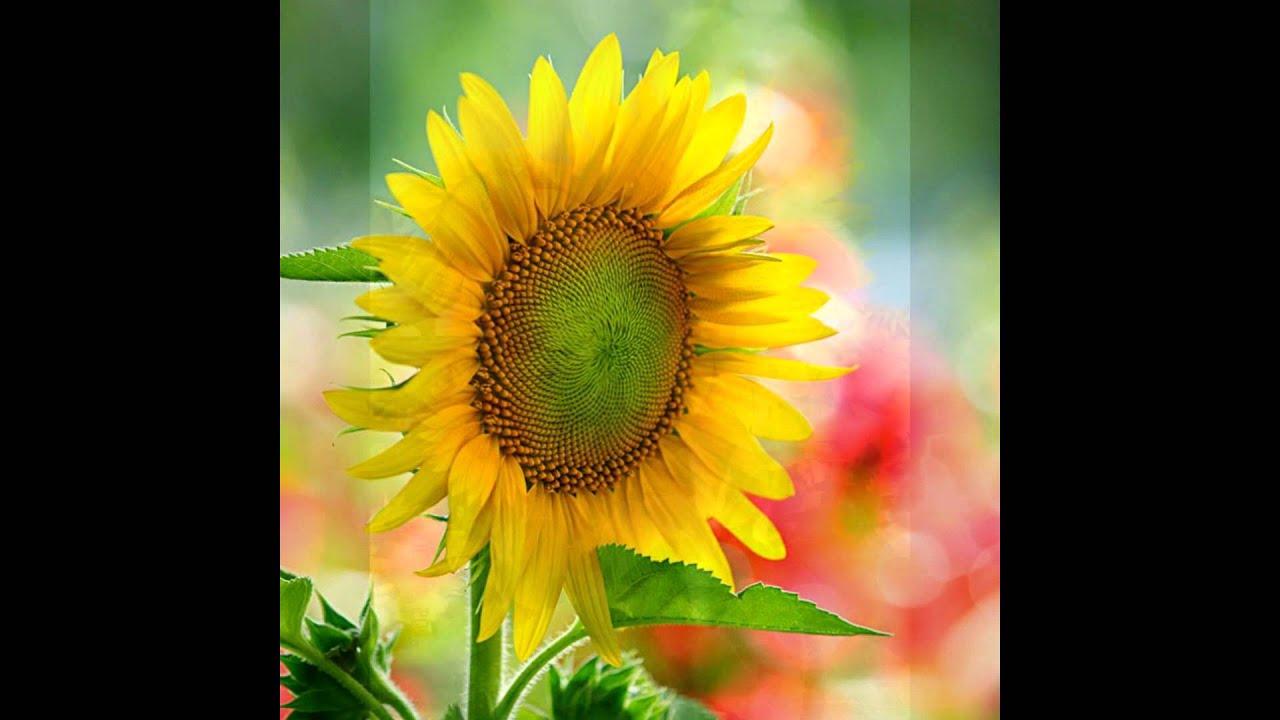 Hoa hướng dương đẹp nhất | Cánh đồng hoa hướng dương tuyệt đẹp (Sunflower, Hoa mặt trời)