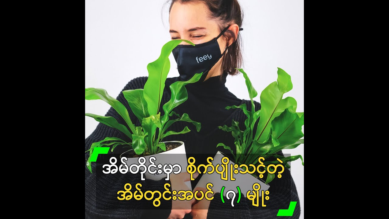 အိမ်တိုင်းမှာ စိုက်ပျိုးသင့်တဲ့ အိမ်တွင်းအပင် (၇) မျိုး