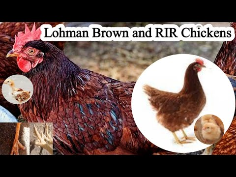 Download Lohman Brown and RIR Chickens   Dr ARSHAD