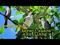 Masteran Kutinag Vs Kombinasi Suara Air Terjun  Mp3 - Mp4 Download