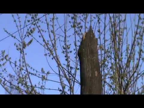 Весенний деревоповал