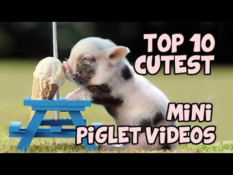 TOP 10 CUTEST MINIPIG COMPILATION