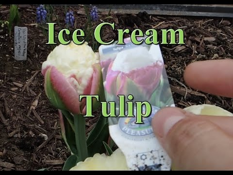 ice cream tulip what do you think youtube. Black Bedroom Furniture Sets. Home Design Ideas