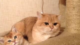 Золотой британский кот на вязку