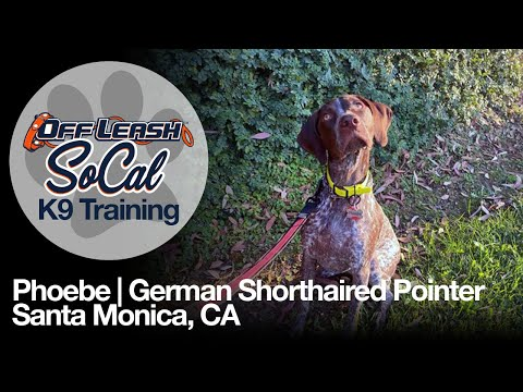 German Shorthaired Pointer Off Leash Dog Training – Phoebe | Santa Monica, CA | OffLeash SoCal